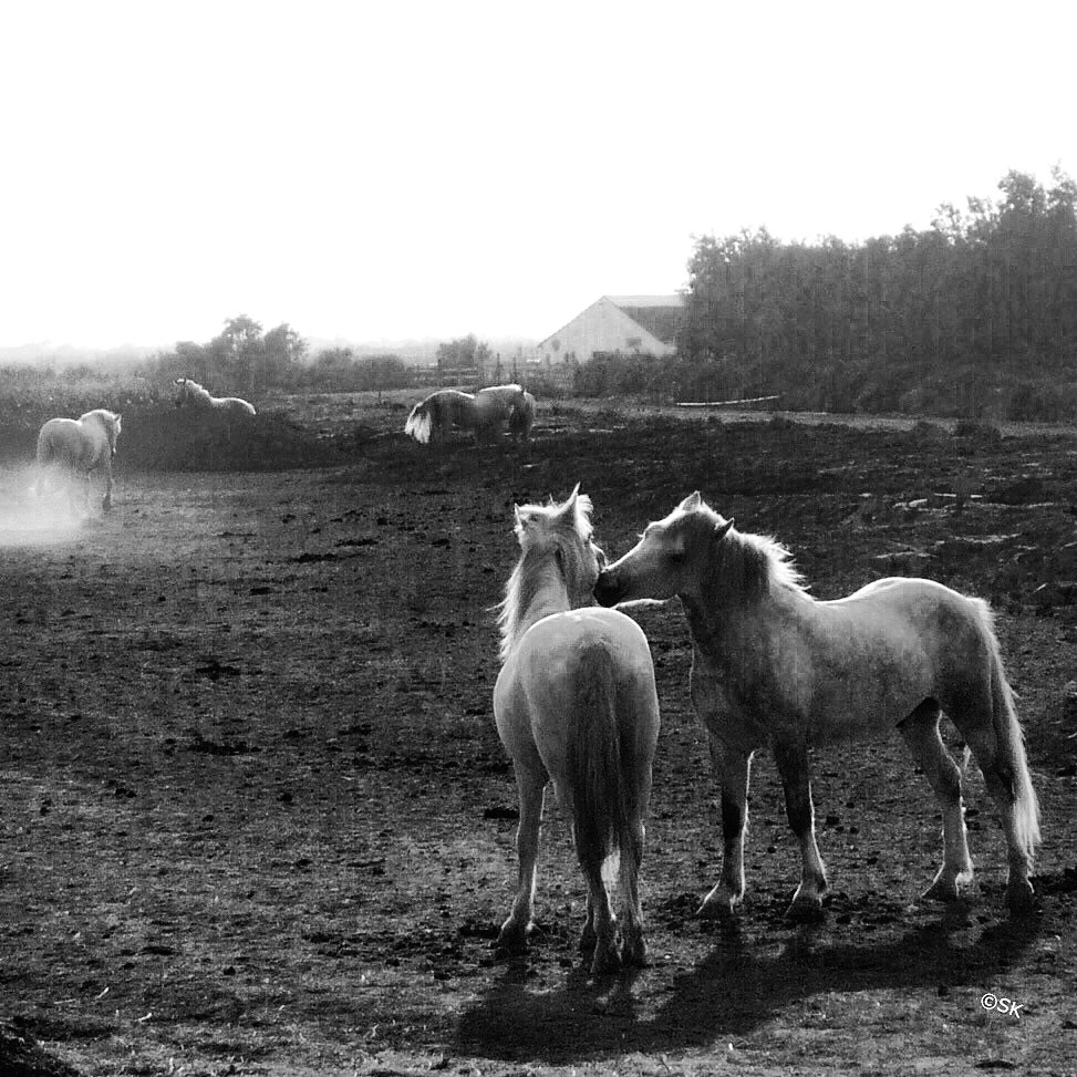 Wild Horses, Camargue