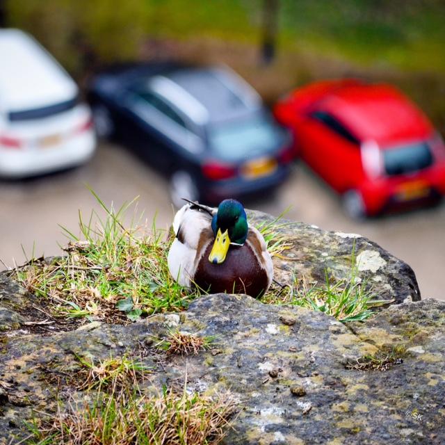 Duck, Pfaffenthal